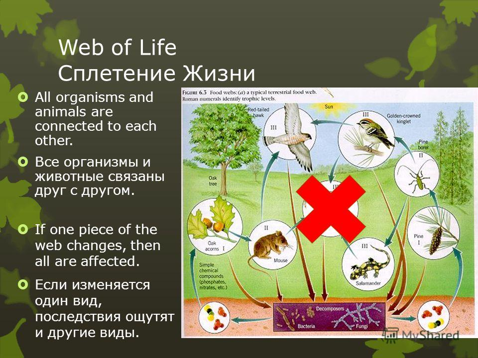 Web of Life Сплетение Жизни All organisms and animals are connected to each other. Все организмы и животные связаны друг с другом. If one piece of the web changes, then all are affected. Если изменяется один вид, последствия ощутят и другие виды.