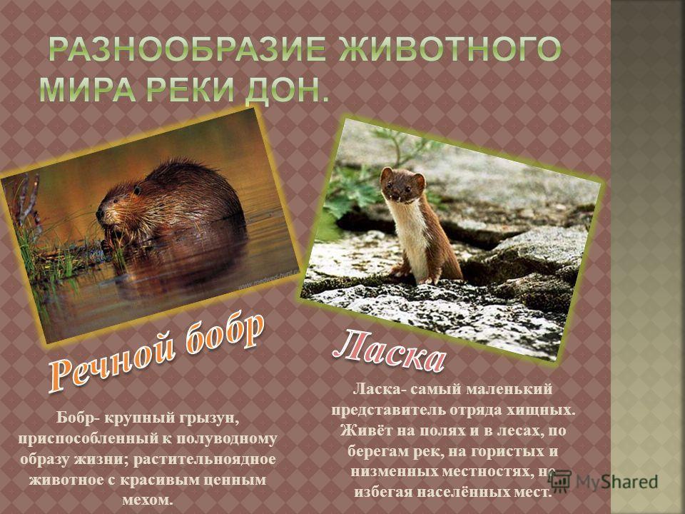 Бобр - крупный грызун, приспособленный к полуводному образу жизни ; растительноядное животное с красивым ценным мехом. Ласка - самый маленький представитель отряда хищных. Живёт на полях и в лесах, по берегам рек, на гористых и низменных местностях,