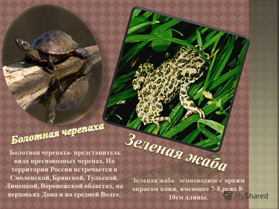 Болотная черепаха - представитель вида пресноводных черепах. На территории России встречается в Смоленской, Брянской, Тульской, Липецкой, Воронежской областях, на верховьях Дона и на средней Волге. Зеленая жаба - земноводное с ярким окрасом кожи, име