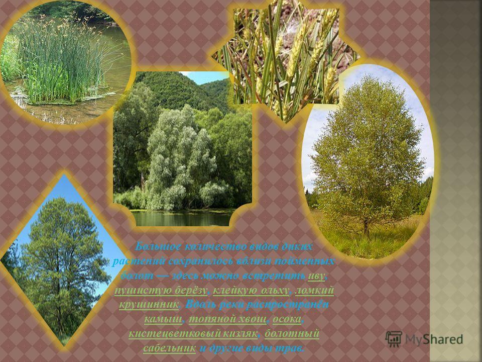Большое количество видов диких растений сохранилось вблизи пойменных болот здесь можно встретить иву, пушистую берёзу, клейкую ольху, ломкий крушинник. Вдоль реки распространён камыш, топяной хвощ, осока, кистецветковый кизляк, болотный сабельник и д