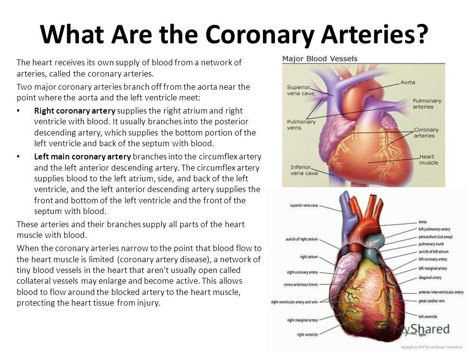 What Are the Coronary Arteries? The heart receives its own supply of blood from a network of arteries, called the coronary arteries. Two major coronary arteries branch off from the aorta near the point where the aorta and the left ventricle meet: Rig