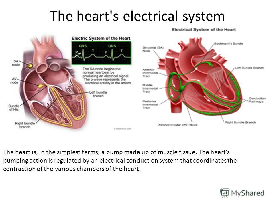 The heart's electrical system The heart is, in the simplest terms, a pump made up of muscle tissue. The heart's pumping action is regulated by an electrical conduction system that coordinates the contraction of the various chambers of the heart.