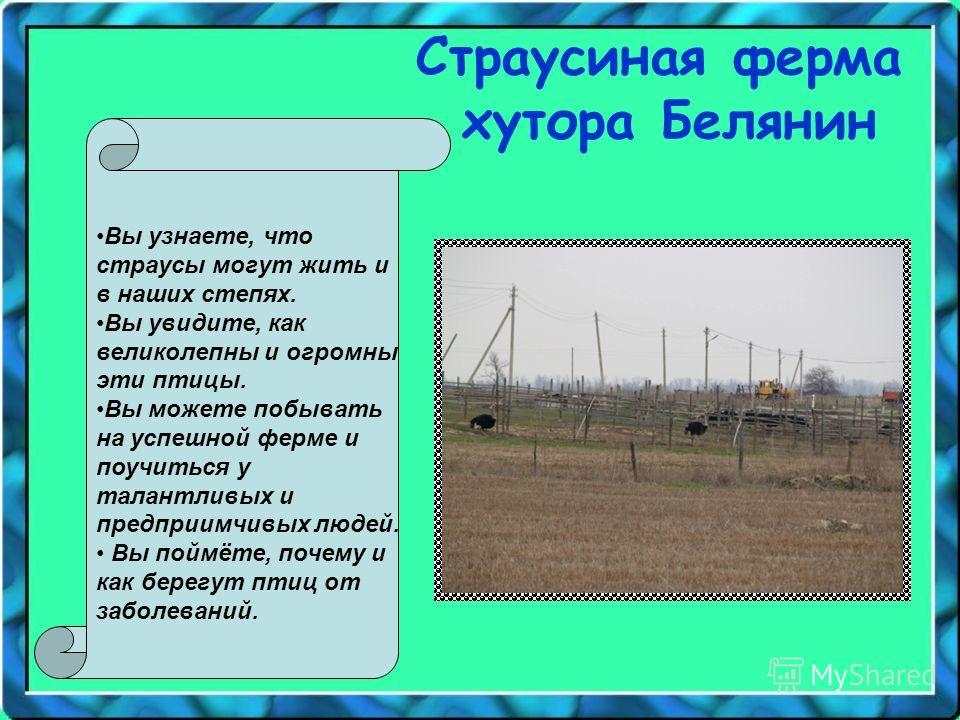 Страусиная ферма хутора Белянин Вы узнаете, что страусы могут жить и в наших степях. Вы увидите, как великолепны и огромны эти птицы. Вы можете побывать на успешной ферме и поучиться у талантливых и предприимчивых людей. Вы поймёте, почему и как бере