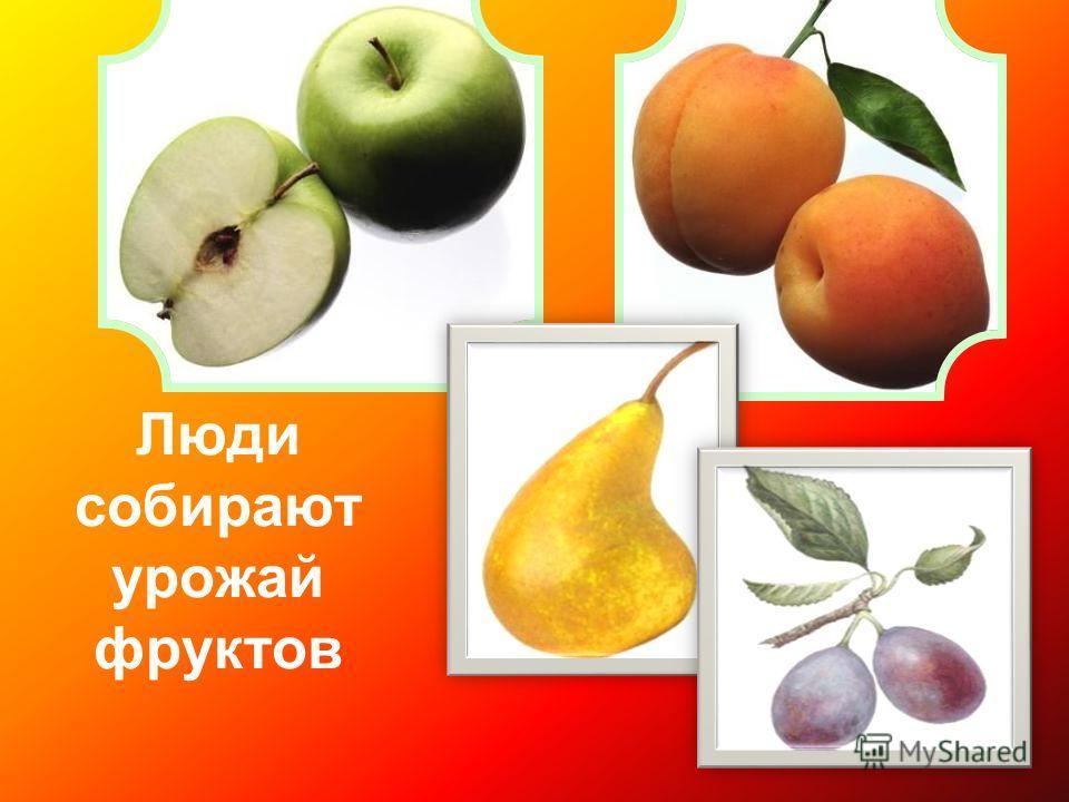 Люди собирают урожай фруктов