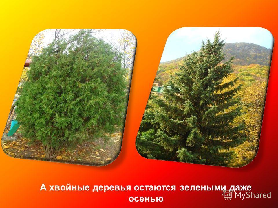 А хвойные деревья остаются зелеными даже осенью