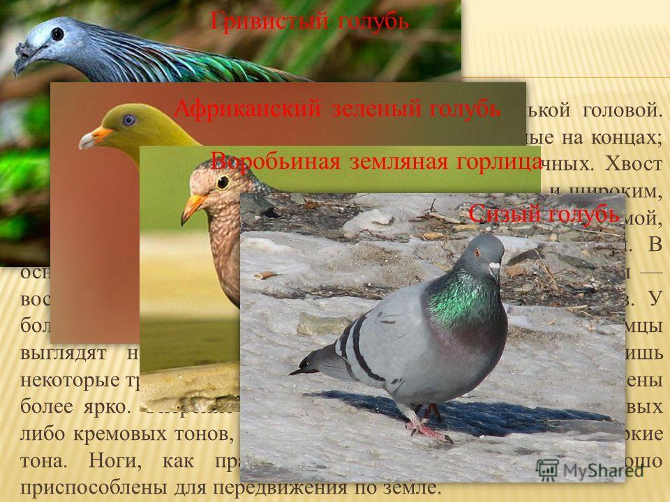 Телосложение плотное, с короткой шеей и маленькой головой. Крылья широкие, длинные, как правило, закруглённые на концах; имеют 11 первичных маховых перьев и 10-15 вторичных. Хвост длинный, на конце может быть как заострённым, так и широким, округлым;