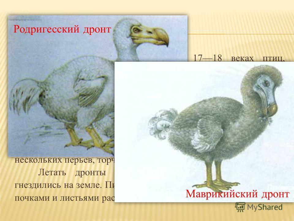 Включало 3 вида вымерших в 1718 веках птиц, обитавших на Маскаренских о-вах Маврикий, Родригес и Реюньон (Индийский океан) до открытия их европейцами. Дронты были крупными птицами, размером с индейку и массой около 20 кг, с кургузым туловищем и больш