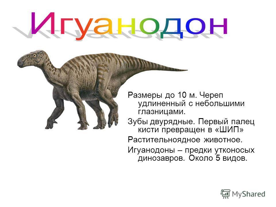 Размеры до 10 м. Череп удлиненный с небольшими глазницами. Зубы двурядные. Первый палец кисти превращен в «ШИП» Растительноядное животное. Игуанодоны – предки утконосых динозавров. Около 5 видов.