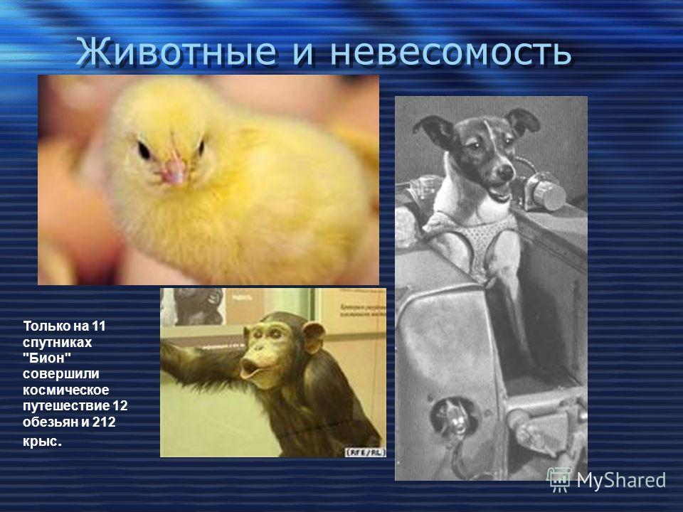 Животные и невесомость Только на 11 спутниках Бион совершили космическое путешествие 12 обезьян и 212 крыс.