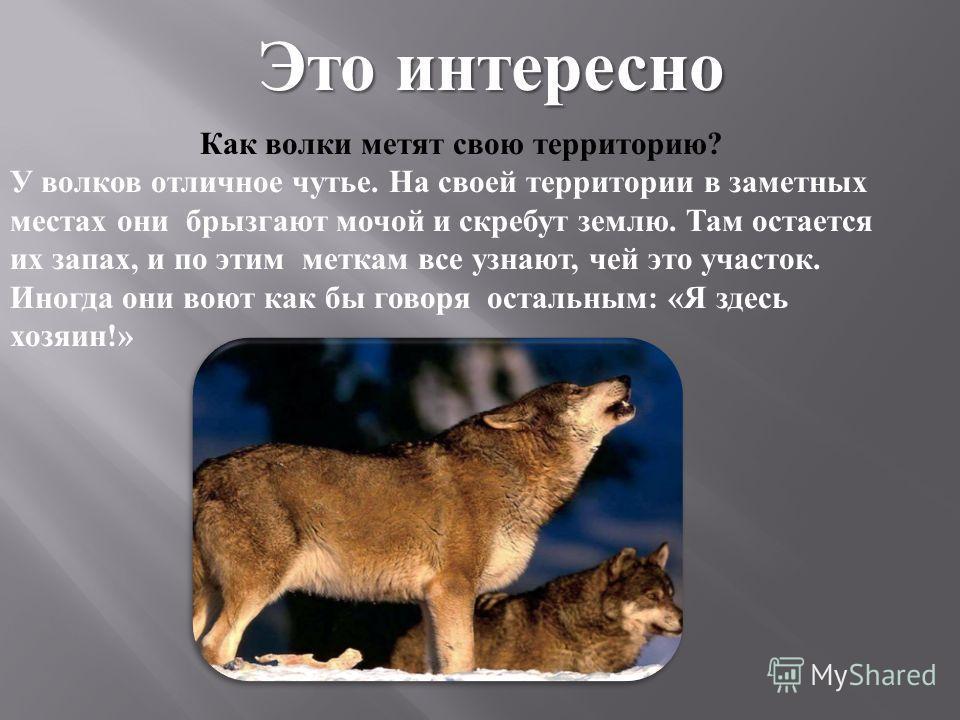 Как волки метят свою территорию ? У волков отличное чутье. На своей территории в заметных местах они брызгают мочой и скребут землю. Там остается их запах, и по этим меткам все узнают, чей это участок. Иногда они воют как бы говоря остальным : « Я зд