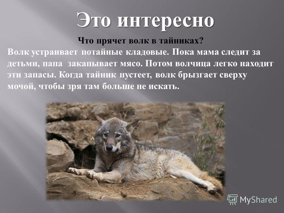 Что прячет волк в тайниках ? Волк устраивает потайные кладовые. Пока мама следит за детьми, папа закапывает мясо. Потом волчица легко находит эти запасы. Когда тайник пустеет, волк брызгает сверху мочой, чтобы зря там больше не искать. Это интересно