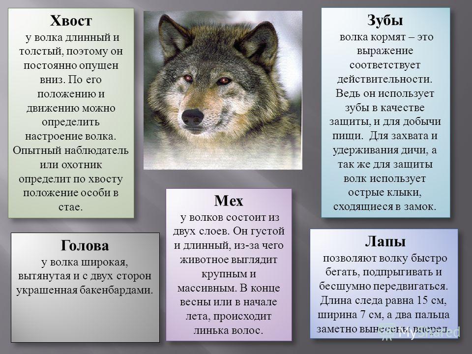 Хвост у волка длинный и толстый, поэтому он постоянно опущен вниз. По его положению и движению можно определить настроение волка. Опытный наблюдатель или охотник определит по хвосту положение особи в стае. Хвост у волка длинный и толстый, поэтому он