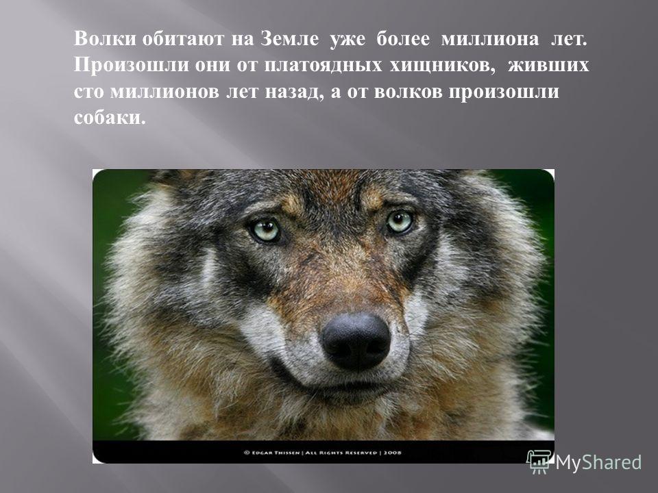 Волки обитают на Земле уже более миллиона лет. Произошли они от платоядных хищников, живших сто миллионов лет назад, а от волков произошли собаки.