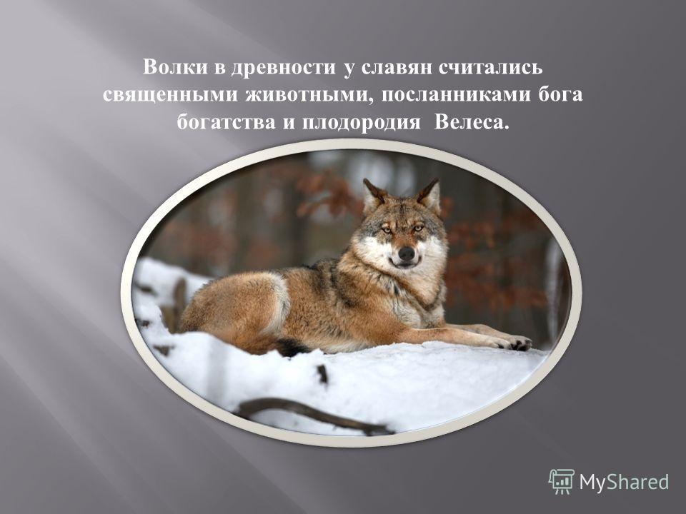 Волки в древности у славян считались священными животными, посланниками бога богатства и плодородия Велеса.