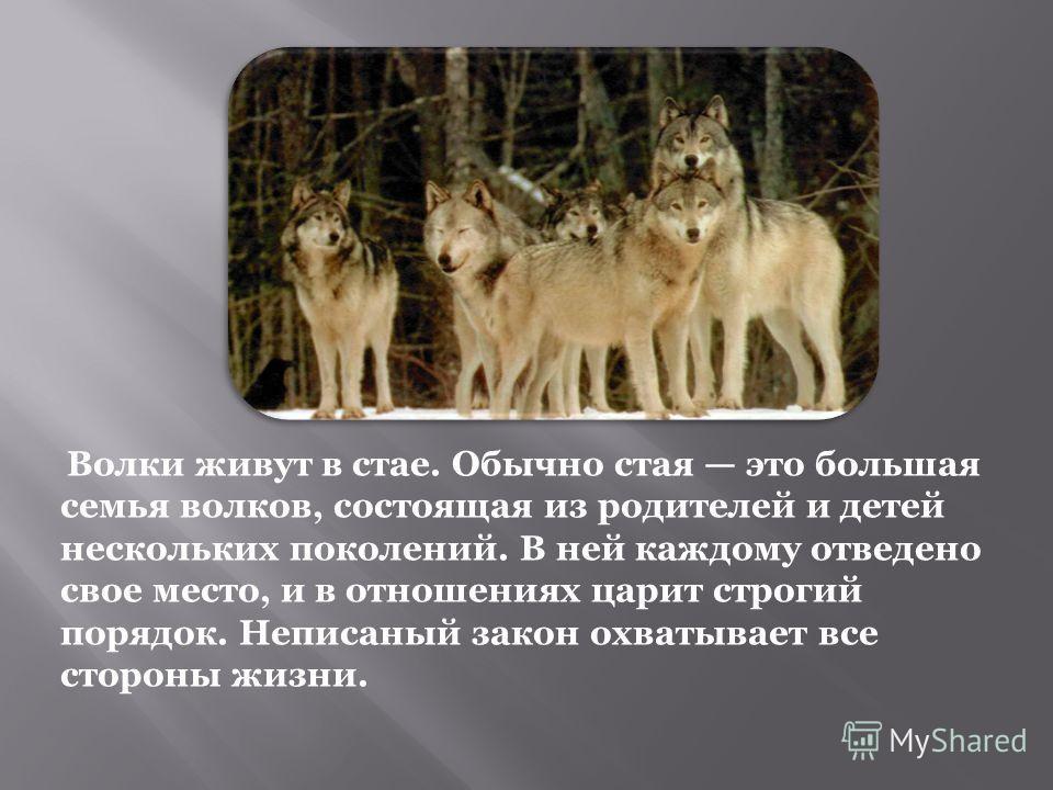Волки живут в стае. Обычно стая это большая семья волков, состоящая из родителей и детей нескольких поколений. В ней каждому отведено свое место, и в отношениях царит строгий порядок. Неписаный закон охватывает все стороны жизни.