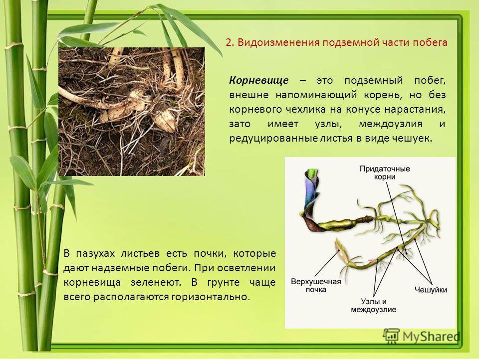 Корневище – это подземный побег, внешне напоминающий корень, но без корневого чехлика на конусе нарастания, зато имеет узлы, междоузлия и редуцированные листья в виде чешуек. В пазухах листьев есть почки, которые дают надземные побеги. При осветлении