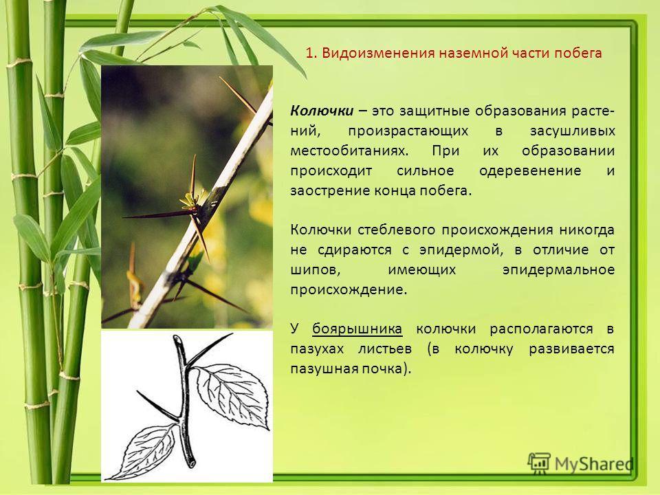 Колючки – это защитные образования расте- ний, произрастающих в засушливых местообитаниях. При их образовании происходит сильное одеревенение и заострение конца побега. Колючки стеблевого происхождения никогда не сдираются с эпидермой, в отличие от ш