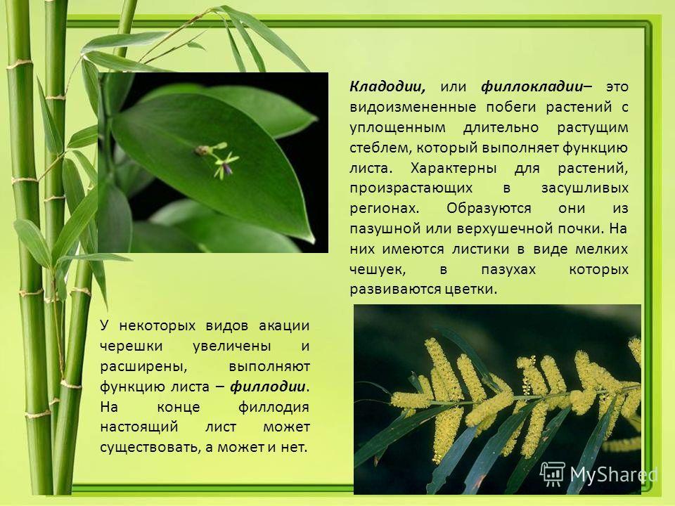 Кладодии, или филлокладии– это видоизмененные побеги растений с уплощенным длительно растущим стеблем, который выполняет функцию листа. Характерны для растений, произрастающих в засушливых регионах. Образуются они из пазушной или верхушечной почки. Н