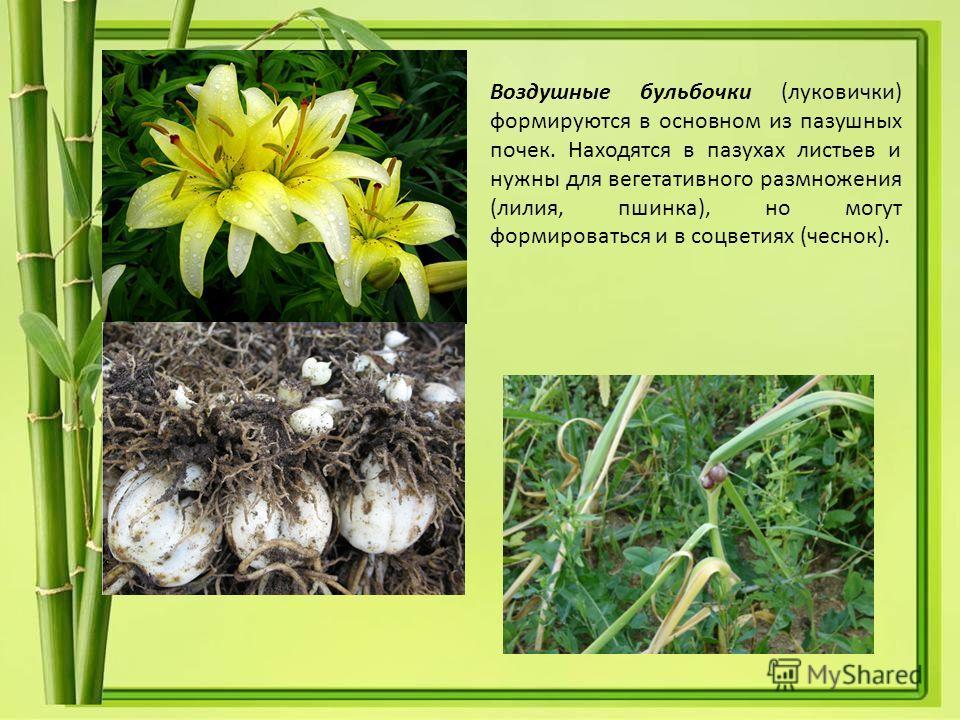 Воздушные бульбочки (луковички) формируются в основном из пазушных почек. Находятся в пазухах листьев и нужны для вегетативного размножения (лилия, пшинка), но могут формироваться и в соцветиях (чеснок).