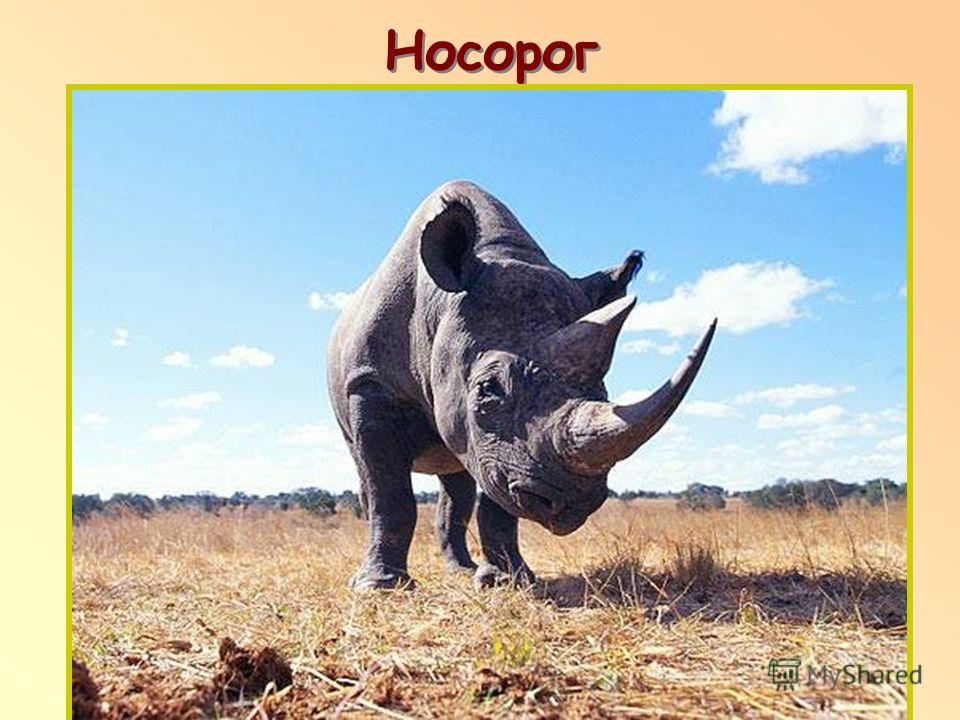 Носорог п п