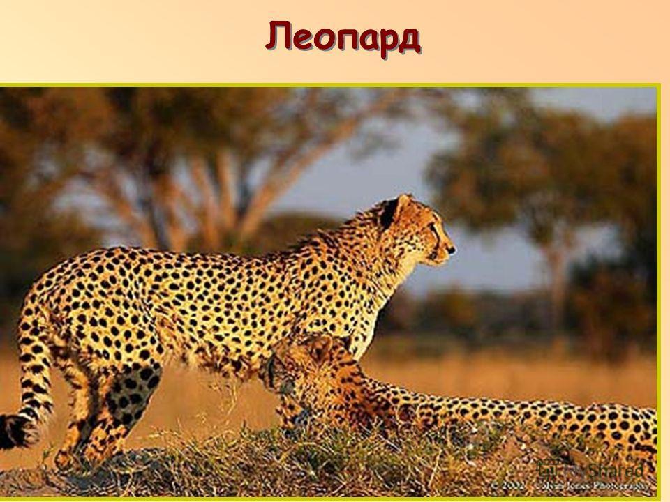 Леопард п п