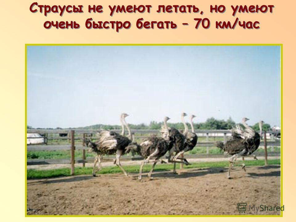 Страусы не умеют летать, но умеют очень быстро бегать – 70 км/час п п