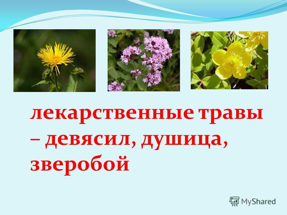 лекарственные травы – девясил, душица, зверобой