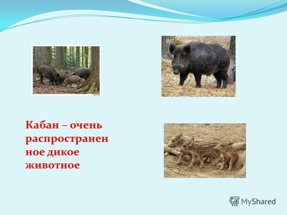Кабан – очень распространен ное дикое животное