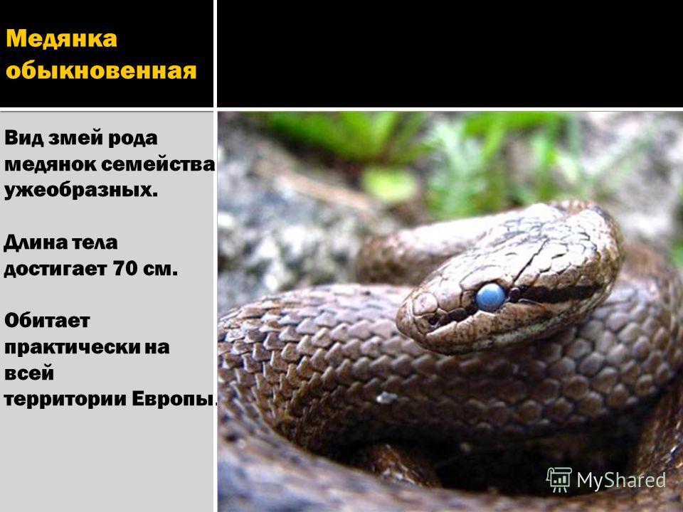 Медянка обыкновенная Вид змей рода медянок семейства ужеобразных. Длина тела достигает 70 см. Обитает практически на всей территории Европы.