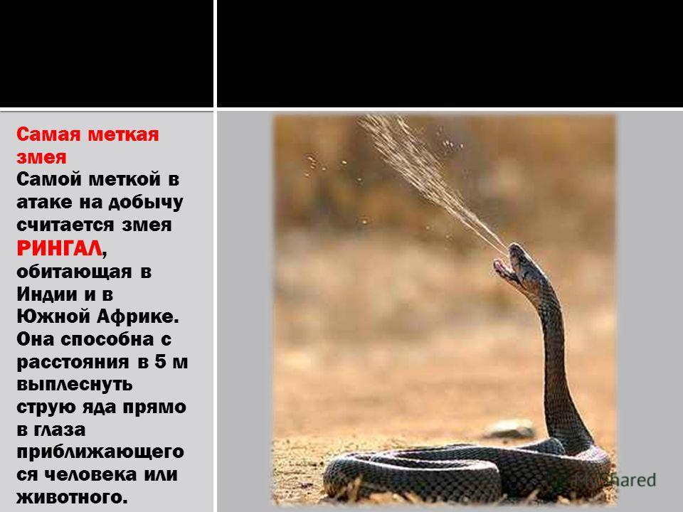 Самая меткая змея Самой меткой в атаке на добычу считается змея РИНГАЛ, обитающая в Индии и в Южной Африке. Она способна с расстояния в 5 м выплеснуть струю яда прямо в глаза приближающего ся человека или животного.