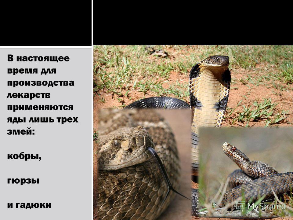 В настоящее время для производства лекарств применяются яды лишь трех змей: кобры, гюрзы и гадюки