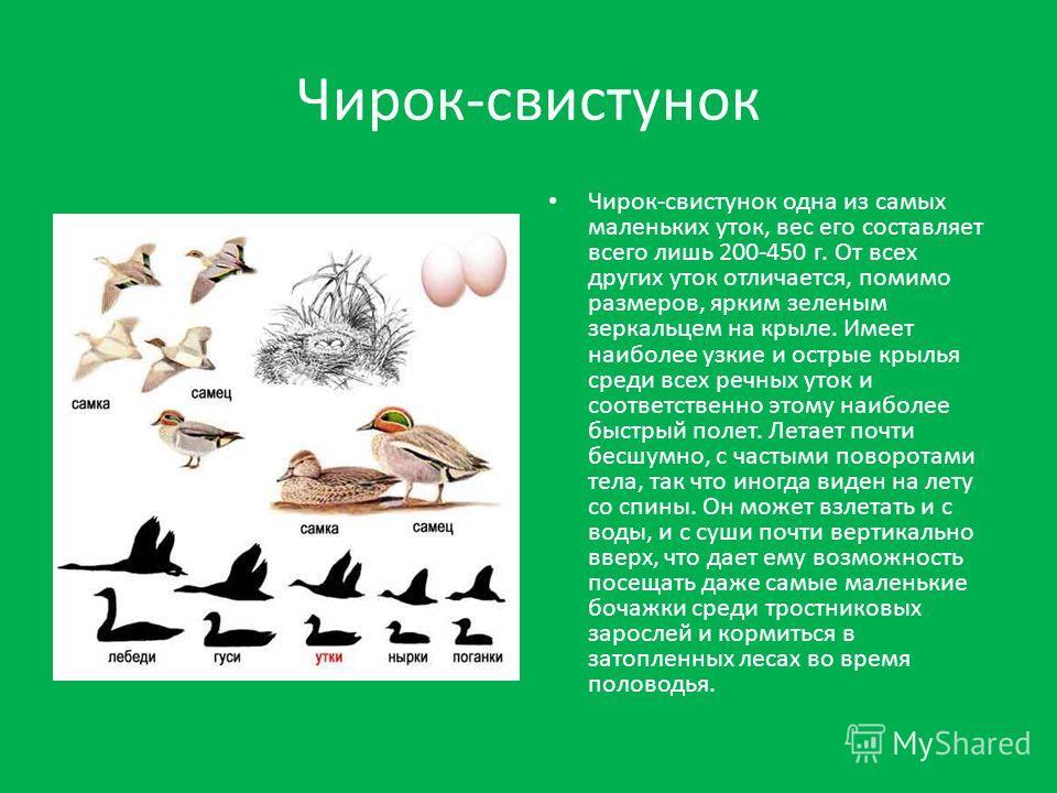 Чирок-свистунок одна из самых маленьких уток, вес его составляет всего лишь 200-450 г. От всех других уток отличается, помимо размеров, ярким зеленым зеркальцем на крыле. Имеет наиболее узкие и острые крылья среди всех речных уток и соответственно эт