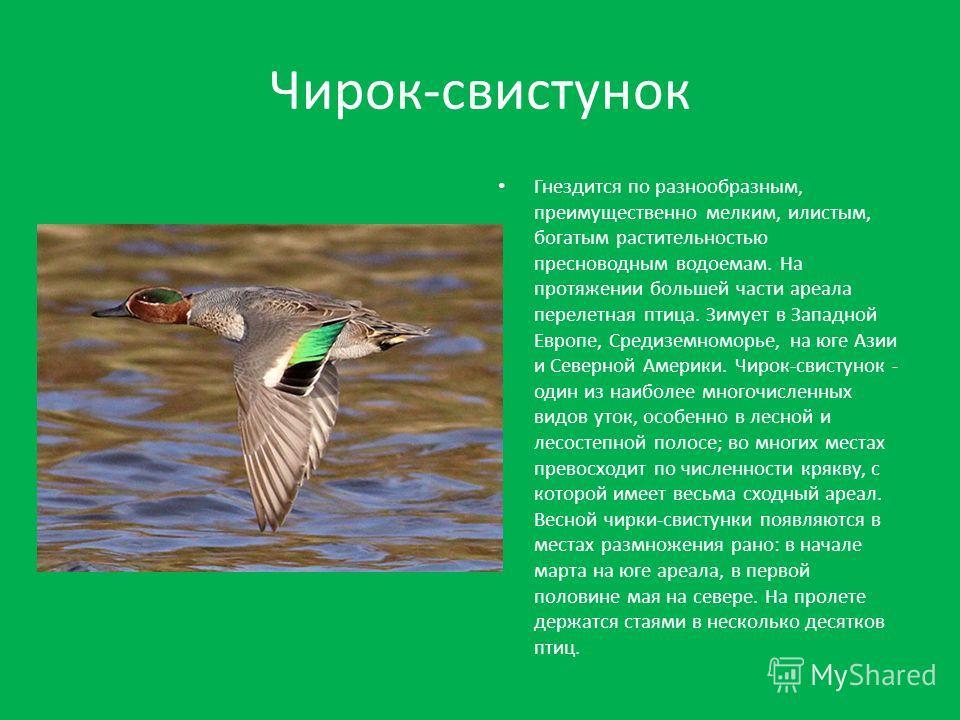 Чирок-свистунок Гнездится по разнообразным, преимущественно мелким, илистым, богатым растительностью пресноводным водоемам. На протяжении большей части ареала перелетная птица. Зимует в Западной Европе, Средиземноморье, на юге Азии и Северной Америки