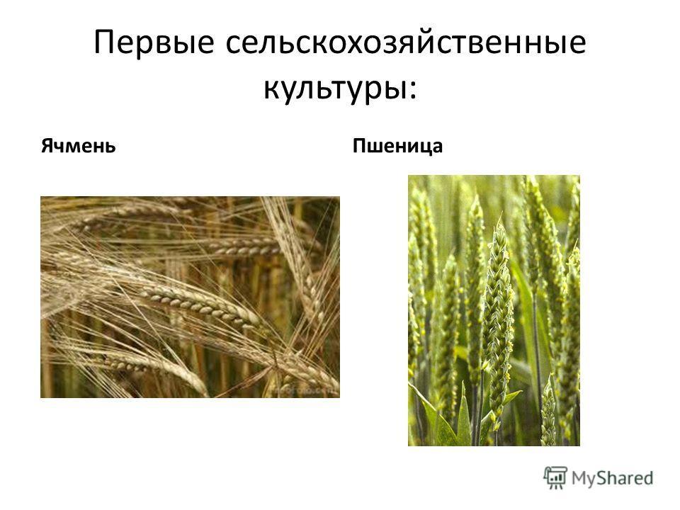 Первые сельскохозяйственные культуры: Ячмень Пшеница
