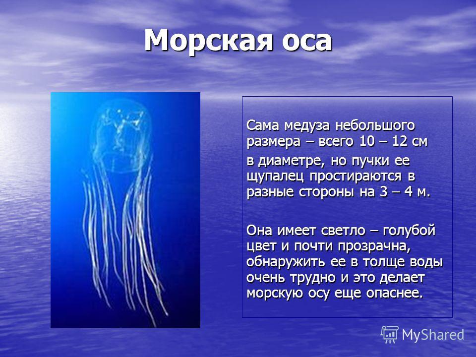 Морская оса Сама медуза небольшого размера – всего 10 – 12 см в диаметре, но пучки ее щупалец простираются в разные стороны на 3 – 4 м. Она имеет светло – голубой цвет и почти прозрачна, обнаружить ее в толще воды очень трудно и это делает морскую ос