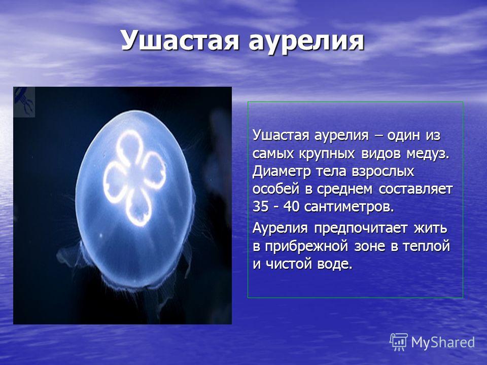 Ушастая аурелия Ушастая аурелия – один из самых крупных видов медуз. Диаметр тела взрослых особей в среднем составляет 35 - 40 сантиметров. Аурелия предпочитает жить в прибрежной зоне в теплой и чистой воде.