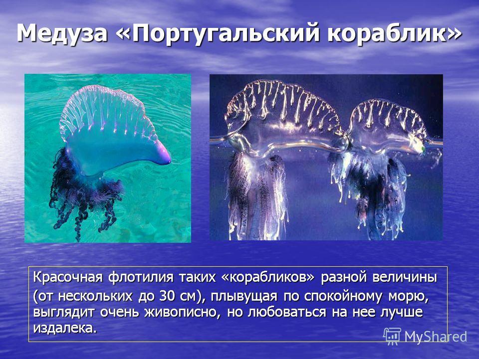 Медуза «Португальский кораблик» Красочная флотилия таких «корабликов» разной величины (от нескольких до 30 см), плывущая по спокойному морю, выглядит очень живописно, но любоваться на нее лучше издалека.