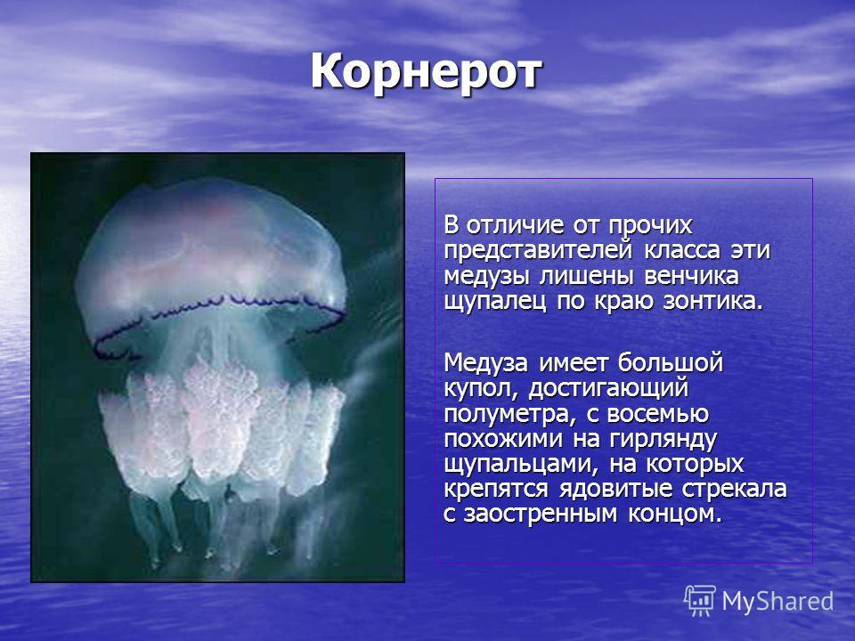 Корнерот В отличие от прочих представителей класса эти медузы лишены венчика щупалец по краю зонтика. Медуза имеет большой купол, достигающий полуметра, с восемью похожими на гирлянду щупальцами, на которых крепятся ядовитые стрекала с заостренным ко