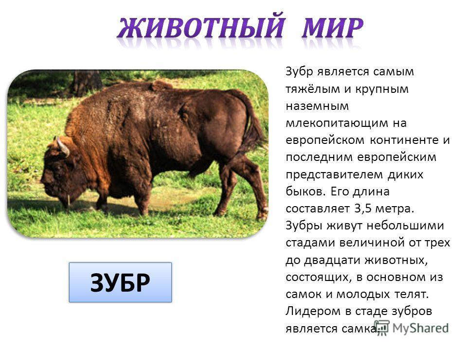 Зубр является самым тяжёлым и крупным наземным млекопитающим на европейском континенте и последним европейским представителем диких быков. Его длина составляет 3,5 метра. Зубры живут небольшими стадами величиной от трех до двадцати животных, состоящи