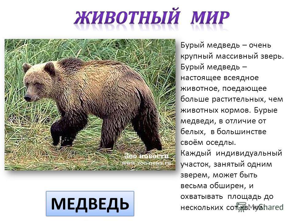 Бурый медведь – очень крупный массивный зверь. Бурый медведь – настоящее всеядное животное, поедающее больше растительных, чем животных кормов. Бурые медведи, в отличие от белых, в большинстве своём оседлы. Каждый индивидуальный участок, занятый одни