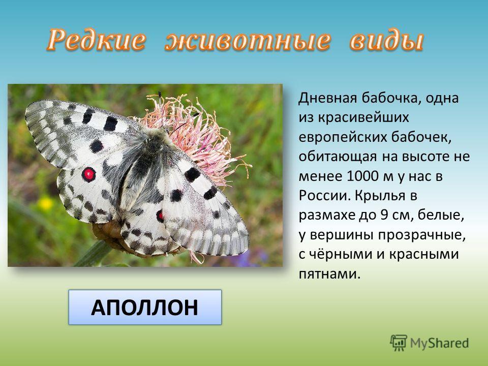 Дневная бабочка, одна из красивейших европейских бабочек, обитающая на высоте не менее 1000 м у нас в России. Крылья в размахе до 9 см, белые, у вершины прозрачные, с чёрными и красными пятнами. АПОЛЛОН