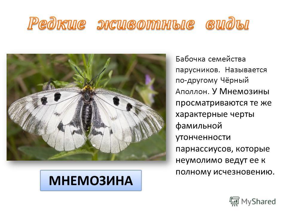 Бабочка семейства парусников. Называется по-другому Чёрный Аполлон. У Мнемозины просматриваются те же характерные черты фамильной утонченности парнассиусов, которые неумолимо ведут ее к полному исчезновению. МНЕМОЗИНА