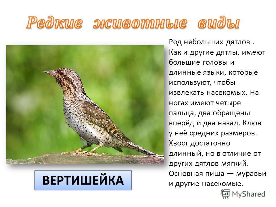 Род небольших дятлов. Как и другие дятлы, имеют большие головы и длинные языки, которые используют, чтобы извлекать насекомых. На ногах имеют четыре пальца, два обращены вперёд и два назад. Клюв у неё средних размеров. Хвост достаточно длинный, но в
