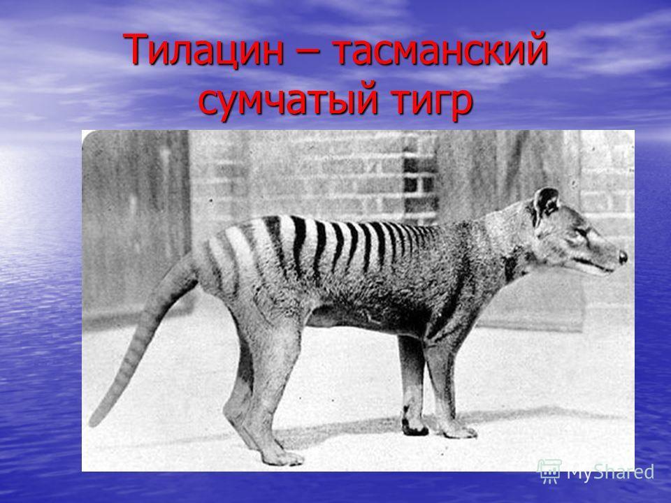 Тилацин – тасманский сумчатый тигр