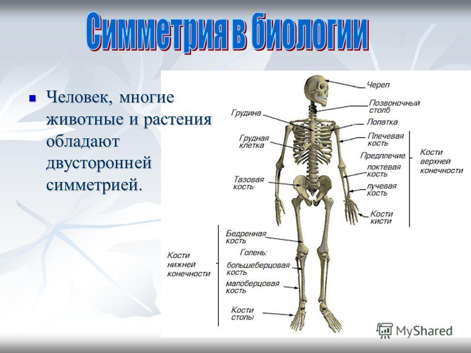 Человек, многие животные и растения обладают двусторонней симметрией. Человек, многие животные и растения обладают двусторонней симметрией.