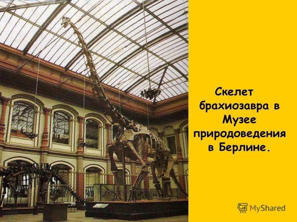 Скелет брахиозавра в Музее природоведения в Берлине.