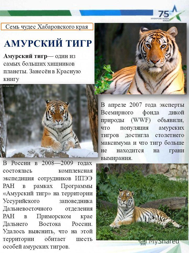 Амурский тигр один из самых больших хищников планеты. Занесён в Красную книгу Семь чудес Хабаровского края АМУРСКИЙ ТИГР В апреле 2007 года эксперты Всемирного фонда дикой природы (WWF) объявили, что популяция амурских тигров достигла столетнего макс