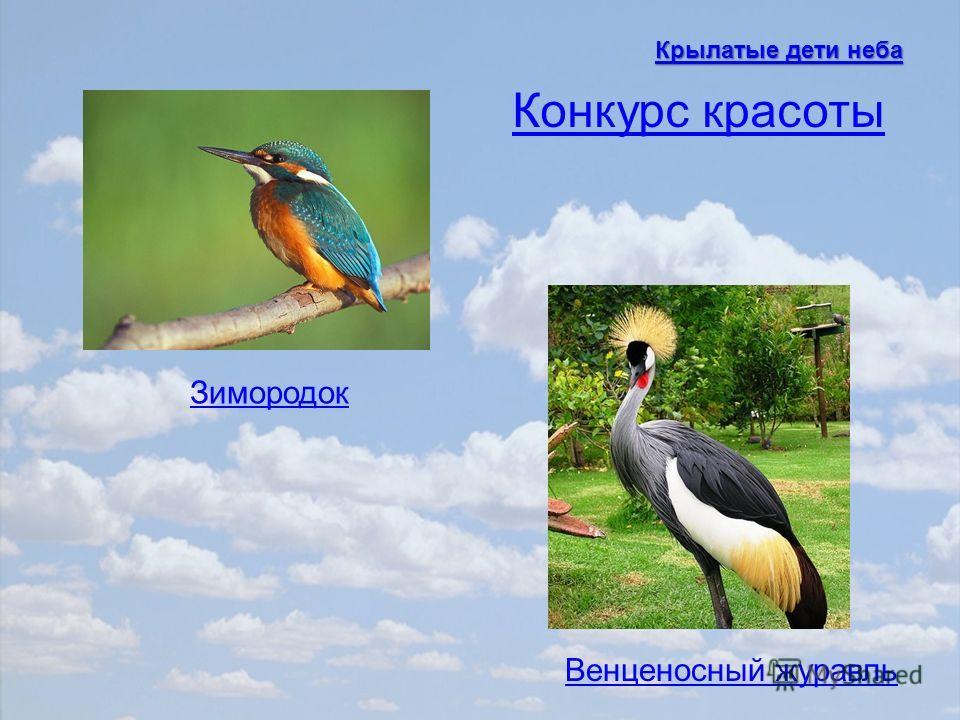 Зимородок Венценосный журавль Конкурс красоты Крылатые дети неба Крылатые дети неба