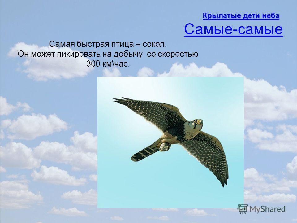Самая быстрая птица – сокол. Он может пикировать на добычу со скоростью 300 км\час. Самые-самые Крылатые дети неба Крылатые дети неба