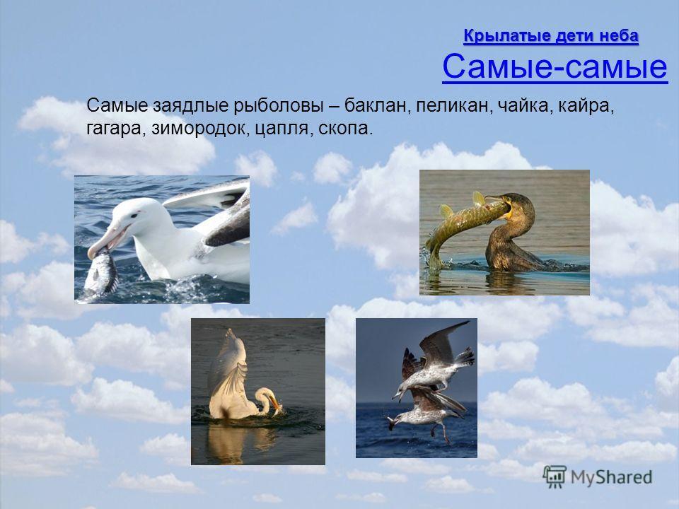 Самые заядлые рыболовы – баклан, пеликан, чайка, кайра, гагара, зимородок, цапля, скопа. Самые-самые Крылатые дети неба Крылатые дети неба
